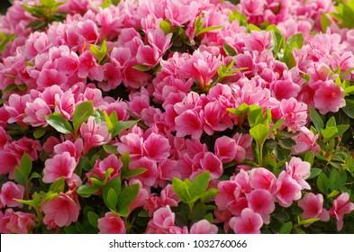 Azaleas, flowers blooming in spring.