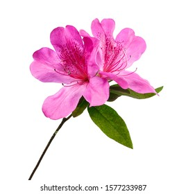 Azaleas flowers with leaves, Pink flowers isolated on white background with clipping path