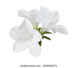 Azaleas flowers with leaves, White flowers isolated on white background with clipping path