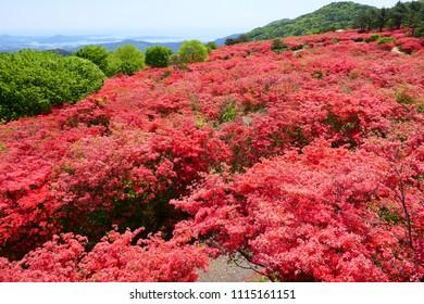 Azaleas in Mt.Tokusenjosan.Sanriku Coast over there.Kesennuma Miyagi Japan.Late May.