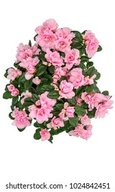 azaleas pink (Rhododendron simsii) isolated on white top view