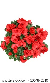 azaleas red (Rhododendron simsii) isolated on white top view