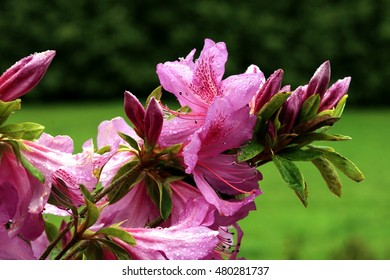 Azaleas, spring, background, flowers, flower, nature, floral, garden, summer, beautiful, landscape, pink, blossom, white, tree, green, sun, field, season, beauty, natural, plant, botany, blooming,