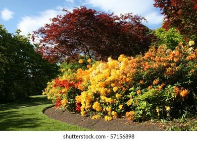 Azaleas in spring time
