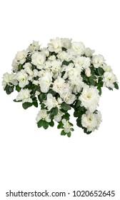 azaleas white (Rhododendron simsii) isolated on white