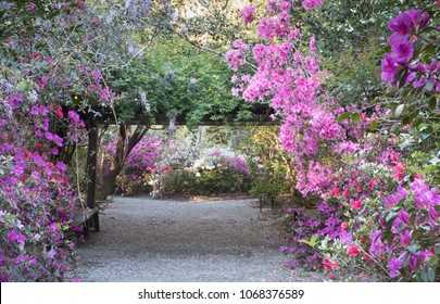 Azaleas and wisteria bloom profusely in spring in the garden at Magnolia Plantation in Charleston, South Carolina.