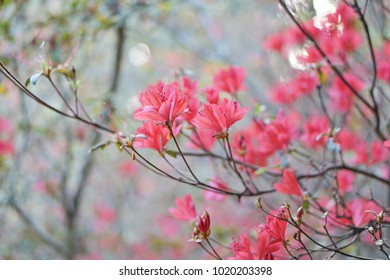 Azaleas,flowering shrubs in the genus Rhododendron, particularly the former sections Tsutsuji (evergreen) and Pentanthera (deciduous).Azaleas bloom in spring, their flowers often lasting several w