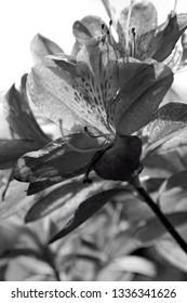 azalia blooms in black and white