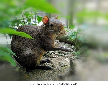 Azara's agouti (Dasyprocta azarae) holds a nut in its forelimbs while watching its surroundings.