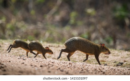 Azara's agouti ,Dasyprocta azarae, Pantanal , Brazil