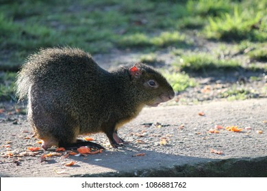 azaras agouti (dasyprocta agouti) South American rodent found in Brazil , Paraguay anf Argentina. stock, photo, photograph, picture, image
