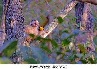 Azaras's Capuchin or Hooded Capuchin, Sapajus Cay, Simia Apella or Cebus Apella, eating a fruit in the nature habitat, Mato Grosso, Pantanal, Brazil, South America