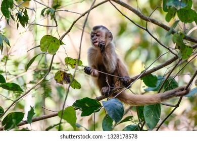 Azaras's Capuchin or Hooded Capuchin, Sapajus Cay, Simia Apella or Cebus Apella, eating a fruit in the nature habitat, Nobres, Mato Grosso, Pantanal, Brazil, South America