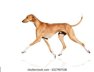 azawakh dog movement isolated on white