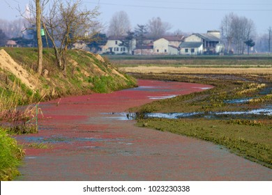 the azolla flower creates a red carpet