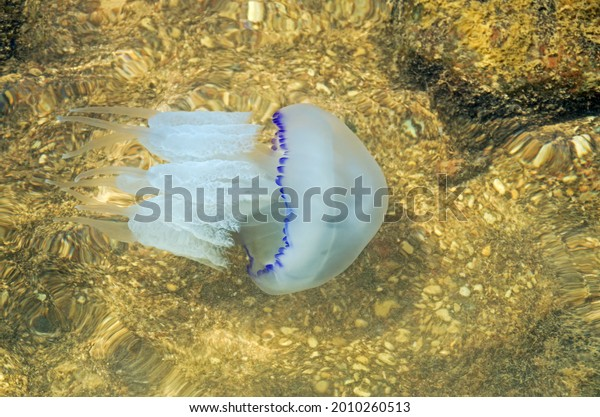 azov-jellyfish-swimming-natural-habitat-