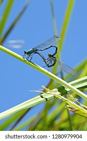 Azure damselflies (Coenagrion puella) displaying their tantric skills while mating on green riverside plant stem - found in most of Europe. It is notable for its distinctive black and blue colouring