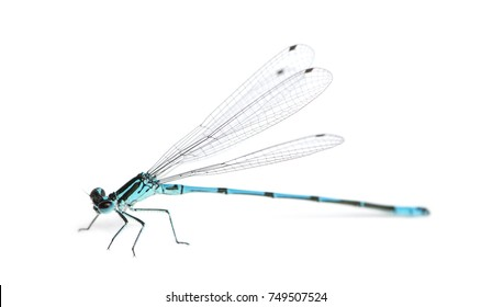 Azure damselfly, Coenagrion puella in front of a white background