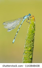 The azure damselfly (Coenagrion puella) is a species of damselfly found in most of Europe. It is notable for its distinctive black and blue colouring. They are commonly found around ponds and lakeside