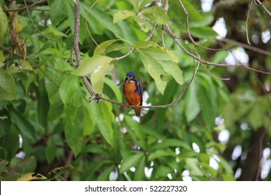 Azure kingfisher pictured at Yellow Water Billabong