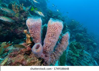 Azure vase sponge (Callyspongia plicifera) Bonaire, Leeward Islands