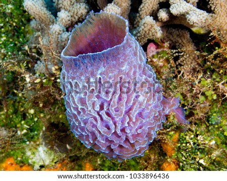 Azure Vase Sponge On Coral Stock Photo Edit Now 1033896436