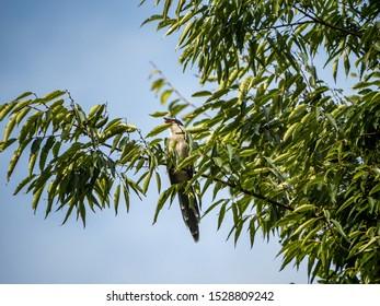 An azure-winged magpie, Cyanopica cyanus, perches in a tree near a farmhouse near Yokohama, Japan.