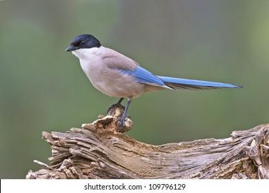 Azure-winged Magpie portrait