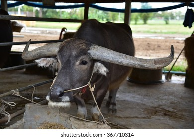 Baan Kwai (Buffalo Village) Animal camps and shows, Village, Community . The Thai Water Buffalo Preservation Village is located on Suphan Buri, thailand