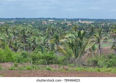 Babassu palm forest