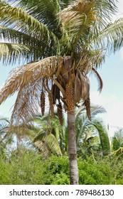 Babassu Palm in Piaui