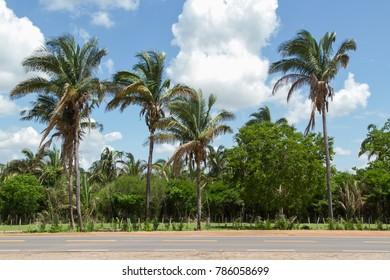 Babassu Palm in Piaui, Brazil