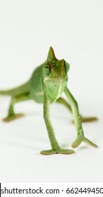 Babe green chameleon on white background (chamaeleonidae)