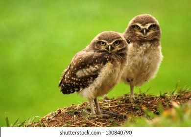 Babies Burrowing Owl