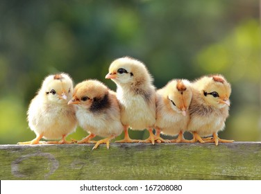 babies chicken on nature background