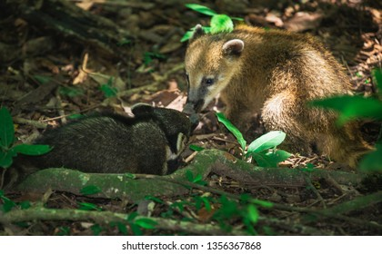 Babies Coati in Iguazu National Park. Coati, also known as the coatimundi is a member of the raccoon family, they have a long snout, an elongated body, and a long bushy tail banded with dark rings.