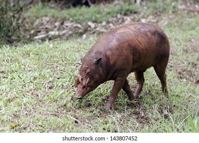 Babirusa, Babyrousa celebensis, single captive mammal, Indonesia, March 2011