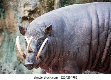 Babirusa deer-pigs Babyrousa while looking for food on a wet soil or mud. The babirusas, also called deer-pigs are a genus, Babyrousa, in the swine family found in Wallacea.