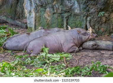 """Babirussa.  Babirussa is an amazing tropical pig with incredible curved tusks. The deer – like """"horns"""" of the animal are not horns at all, but elongated fangs that grow straight out of its nose."""