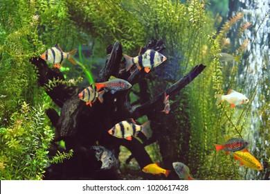 Babki Sumatran barbs in the aquarium