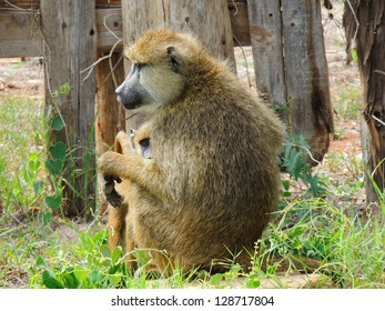 baboon and baby in amboseli park, kenya, africa