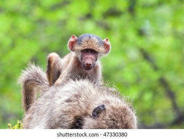 Baboon baby riding on the back of its mother