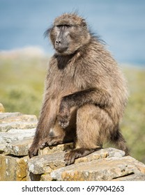 Baboon at Cape of Good Hope Nature reserve, Western Cape, South Africa