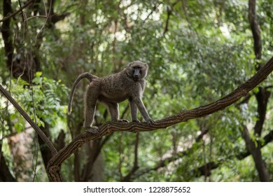 Baboon climbing on a branch in Nechisar national park in Ethiopia.
