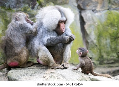 Baboon family with the female grooming the male and the baby looking up at his father