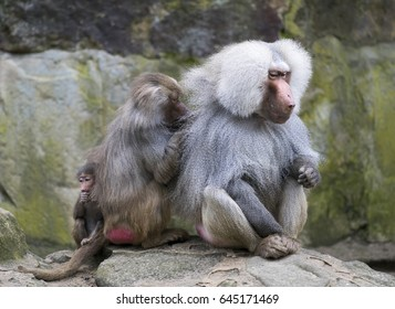 Baboon family with the female grooming the male and the cuddling up to its mother