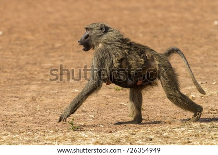 Baboon Female Baby Mole Np Ghana Stock Photo Edit Now 726354949