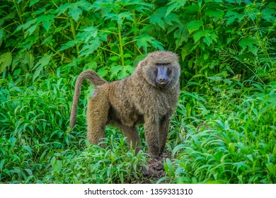 Baboon in a green bush landscape