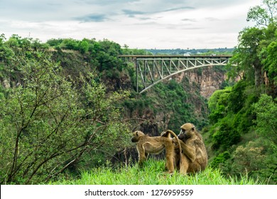 A baboon is grooming his mate at the Victoria Falls. Undisturbed by tourists they take their time. As a backdrop the Victoria Falls Bridge over the Zambezi river connecting Zambia with Zimbabwe.