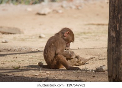 Baboon is looking for food on the ground